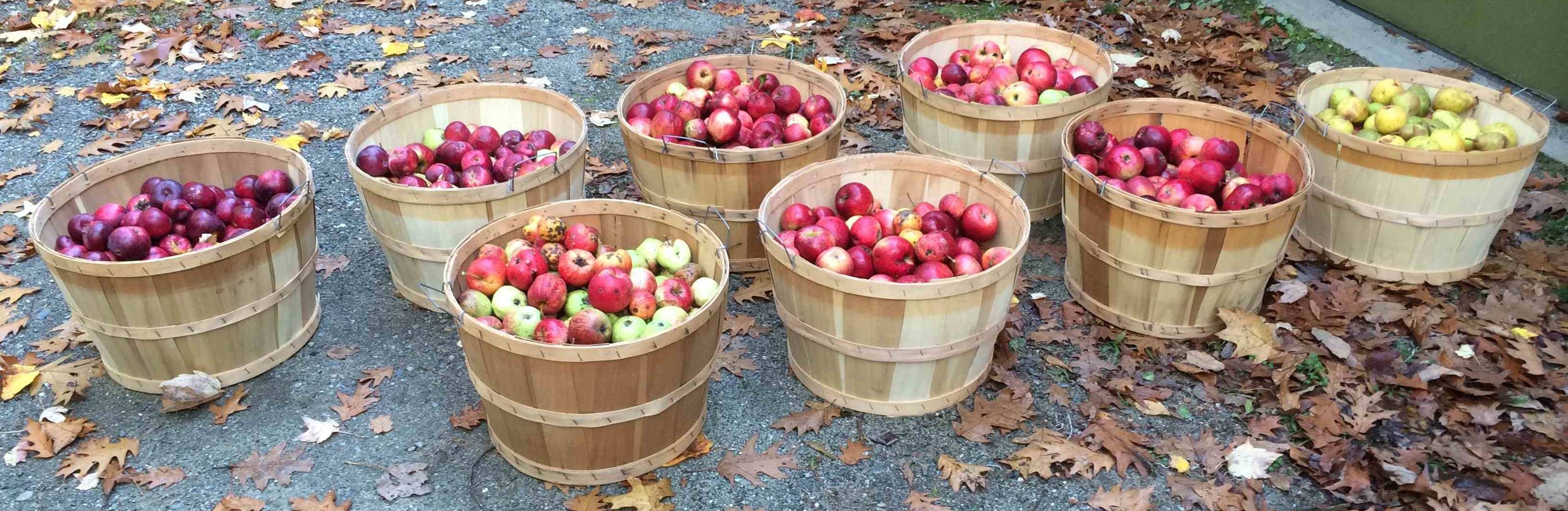A little over seven bushels of apples ready for pressing